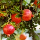 Pomegranate Tree, Punica granatum, 30 fresh seeds