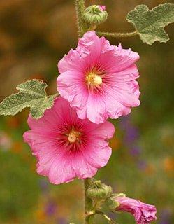 Alcea setosa Bristly Hollyhock Striking beauty wild tall flower tiny seeds