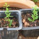 argan tree 50 seeds endangered species Argania Spinosa