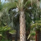 Pindo Jelly Palm Tree Butia capitata 25 Seeds cold, heat, and drought resistant
