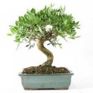 Pistacia lentiscus (mastic tree) 30 fresh seeds bonsai or outdoor