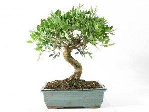 Pistacia lentiscus (mastic tree) 30 fresh seeds bonsai or outdoor