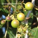 Ziziphus Spina Christi Christus Thorn Jujube Atad Nabbag 10 seeds