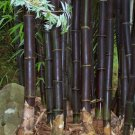 TIMOR BLACK BAMBOO (Bambusa lako) 10 seeds