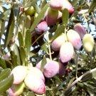 Olive Tree 12 Seeds Bonsai Olea europaea var. Barnea Houseplant+outdoors