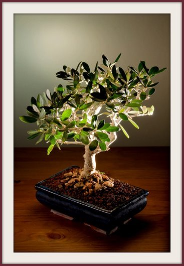 Olive tree 30 seeds bonsai olea europaea var zuri for Growing olive tree indoors