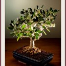Olive Tree 30 Seeds Bonsai Olea europaea var. zuri Houseplant+arid areas