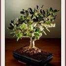 Olive Tree 30 Seeds Bonsai Olea europaea var. zuri Houseplant+arid areas