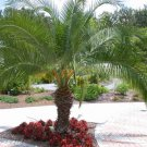 Phoenix roebelenii Pygmy Date Palm package of 50 fresh seeds