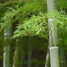Moso Bamboo Phyllostachys pubescens the largest bamboo 10 seeds