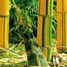 BAMBUSA VULGARIS VITTATA Common Bamboo Vittata cutting+roots