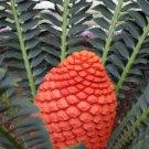 4 rare seeds Encephalartos ferox - Cycad like plant