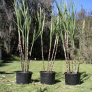 sugercane red stem color bamboo like, ornamental and useful, easy to grow.