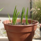 Canary Island Date Palm tree ( Phoenix Canariensis) 10 seedlings