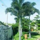 Wodyetia bifurcata - 'Foxtail Palm' 5 Palm Seeds