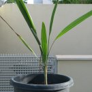 "Butia Capitata""Pindo Palm"" 1 seedling. cold hardy palm easy grow."