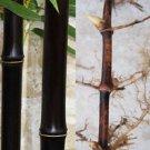 "2 black bamboo rhizomes P. Nigra  12"" rhizome long"