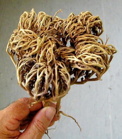 rose of jericho anastatica hierochuntica resurrection plant rare plant with viable seeds inside. Black Bedroom Furniture Sets. Home Design Ideas