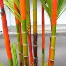 LIPSTICK PALM SEALING WAX PALM 5 Cyrtostachys renda seedlings (1.5 years)