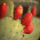 Opuntia ficus-indica one viable segment will grow roots for arid and semi arid