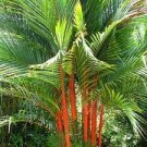 LIPSTICK PALM SEALING WAX PALM Cyrtostachys renda 20 FRESH SEEDS Rare
