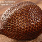 Very rare Tropical Salacca Palm tree / Salak / Snake Fruit 8 sprouted Seeds