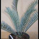 Encephalartos lehmannii Blue Leaves Karoo Cycad Rare 2 seeds
