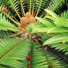Encephalartos Natalensis Fast Growing Giant Cycad 2 SEEDS