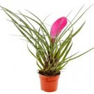 Tillandsia cyanea - Air Plant rare easy to grow- Center of attention