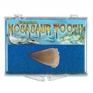 (1) Genuine Fossil Mosasaur Tooth *Includes Clear Acrylic Display Case*