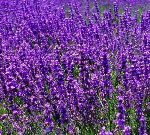 Fragrance oils 1 oz French lavender bouquet bath, soaps
