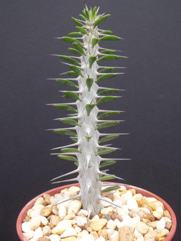 Alluaudia procera rare succulent plant exotic Madagascar Ocotillo
