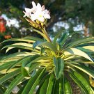 Pachypodium Lamerei rare succulents palm seed 100 SEEDS