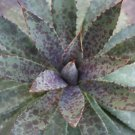 Manfreda bloodspot @ succulent rare agave seed 50 SEEDS