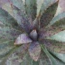 Manfreda bloodspot @ succulent rare agave seed 50 SEEDS
