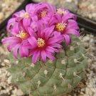 Strombocactus ssp esperanzae rare cactus seed 100 SEEDS