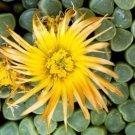 Fenestraria rhopalophylla @J@ baby toes seed 50 SEEDS