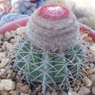 """Melocactus zehentneri exotic rare cacti plant cactus 4"""""""