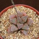 """Haworthia Pygmaea, exotic rare succulent plant cacti 4"""""""