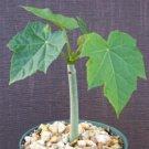 """Jatropha curcas @@ rare succulent cacti plant cactus 6"""""""