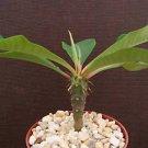 Euphorbia Viguieri exotic rare succulent plant cactus 4