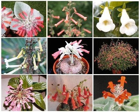 SINNINGIA VARIETY MIX, rare caudex plant seed 150 SEEDS