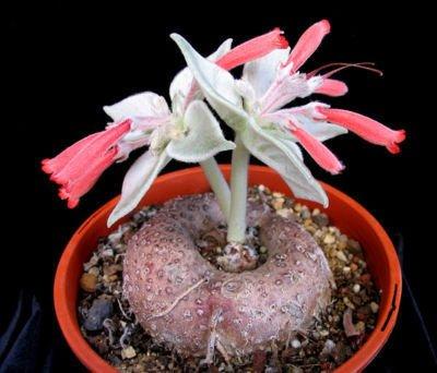 Sinningia leucotricha, rare caudex plant seed 100 SEEDS