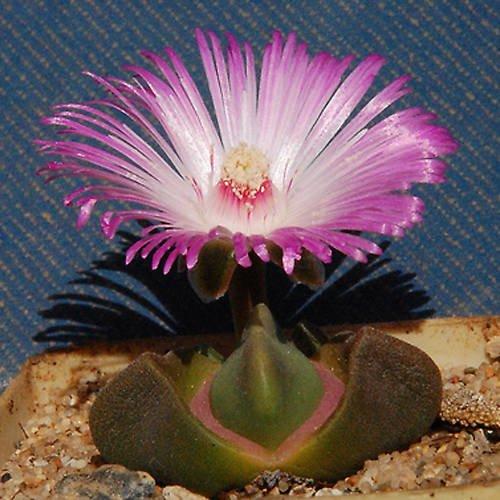Didymaotus lapidiformis rare mesemb cacti seed 50 SEEDS