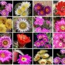 Echinocereus variety mix @J@ rare cactus seed 100 SEEDS