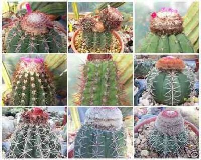 Melocactus MIX cacti rare cactus seed 150 SEEDS