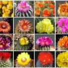 PARODIA VARIETY MIX FLOWERING CACTUS SEED 100 SEEDS OJO