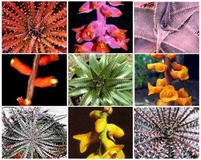 Dyckia MIX exotic  succulent cactus hetchia cacti xeriscaping aloe seed 50 SEEDS