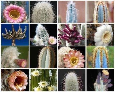 Columnar cacti MIX @ outdoor rare cactus seed 300 SEEDS