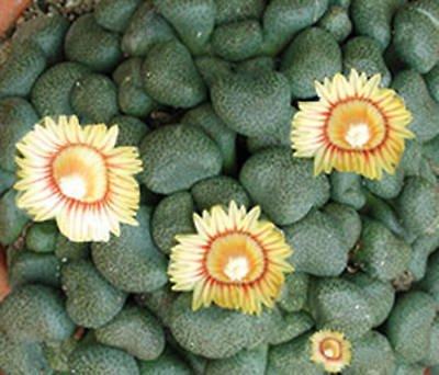 Aloinopsis schooneesii rare living stone seed 100 SEEDS